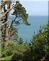 SX9150 : Pines at Coleton Fishacre by Derek Harper