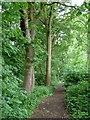 SK3864 : Footpath through Far Tupton Wood by Andrew Hill