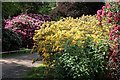 NT5034 : Rhododendrons in Abbotsford House grounds by Walter Baxter