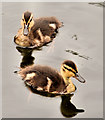 J3370 : Ducklings, Belfast by Albert Bridge