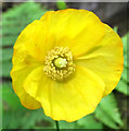 SJ8959 : Flower of the Welsh Poppy by Jonathan Kington