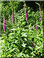 ST7434 : Foxgloves, Hilcombe Hanging by Miss Steel