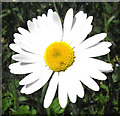 SJ8959 : Ox-eye Daisy flower by Jonathan Kington