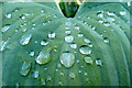 SO6424 : Raindrops on hosta : Week 22