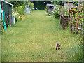 TQ3062 : A fox cub on the allotments : Week 23