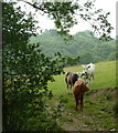 SK3172 : Cattle above Birley Brook by Andrew Hill