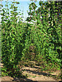 TQ8128 : Hop field at Hoad's Farm by Oast House Archive