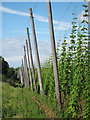 TQ8128 : Hoad's Farm hop garden by Oast House Archive