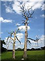 SJ5071 : Two dead trees near Manley by Jeff Buck