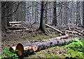 J4477 : Cut trees, Cairn Wood, Craigantlet by Albert Bridge