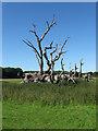 TQ5309 : Dead Oak, Hollands by Simon Carey