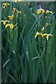 HP5604 : Yellow Flag Iris (Iris pseudacorus), Lund by Mike Pennington