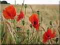 SP6161 : Poppies in Barley : Week 26