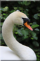 TQ1876 : Mute Swan (Cygnus olor) by Christine Matthews