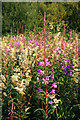 SK4833 : Epilobium angustifolium with Filipendula ulmaria by David Lally