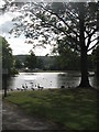 SK3390 : Canada Geese at Hillsborough Park by Dave Pickersgill