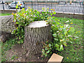 TQ3978 : Lime tree stump by Stephen Craven