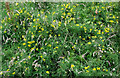 SJ8956 : Meadow Vetchling by Jonathan Kington