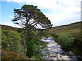 NN8988 : Scots pine in upper Glen Feshie by Peter Wilson
