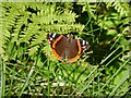 SE0026 : Red Admiral sunbathing in Broad Bottom Wood, Mytholmroyd by Humphrey Bolton