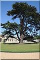 SP9632 : Cedar at Woburn Abbey by Philip Halling