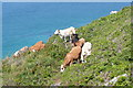 SW4840 : Cattle on the coastal path by Graham Horn