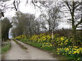 NZ1709 : Daffodils drive, East Layton by Miss Steel