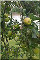 SO4341 : Apples in the walled garden by Stephen McKay