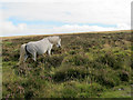 SX6981 : Dartmoor pony near Hookney Tor by Stephen Craven
