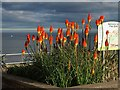 SX9472 : Red hot pokers, Teignmouth by Derek Harper