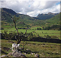 NY3002 : White Herdwick by the Greenburn track : Week 33