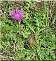 TF7511 : Stemless thistle (Cirsium acaule) by Evelyn Simak