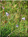 TF7511 : Harebells (Campanula rotundifolia) by Evelyn Simak