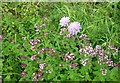 SU4979 : Wild marjoram and scabious by Fly