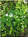 SD9728 : Wood Stitchwort (Stellaria nemorum) in Colden Clough by Phil Champion