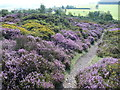 SO3697 : Purple heather and yellow gorse on the Stiperstones by Jeremy Bolwell