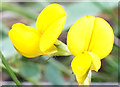 SJ8562 : Meadow Vetchling by Jonathan Kington