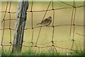 HP6313 : Meadow Pipit (Anthus pratensis) on an old fence, Northdale : Week 36