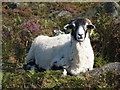 SK2582 : Sheep at rest by Dave Pickersgill