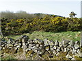 NT7560 : Gorse near Abbey St Bathans by Miss Steel