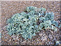 TM3642 : Sea kale (Crambe maritima) on Shingle Street Beach by Adrian Cable