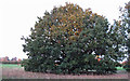 TL4605 : Oak on Crabs Green by Roger Jones