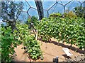 SX0554 : Vines In The Mediterranean Biome At The Eden Project by James T M Towill