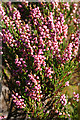 NJ2050 : Heather (Calluna vulgaris) by Anne Burgess