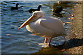 TQ2979 : Pelican in St.James's Park, London by Peter Trimming