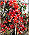 SU0727 : Black Bryony berries by Jonathan Kington
