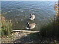 TQ4792 : Canadian Geese on the lake at Hainault Forest Country Park by Richard Hoare