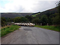 SN9273 : Sheep being herded over the bridge over the Wye by John Lucas