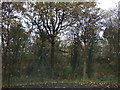 SJ6590 : Trees behind Birchwood Station by JThomas