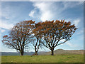 SD5997 : Beech trees by the Brow Head bridleway by Karl and Ali